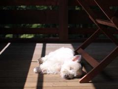 白犬が炎天下の写真はむずい