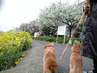 運河の花見1