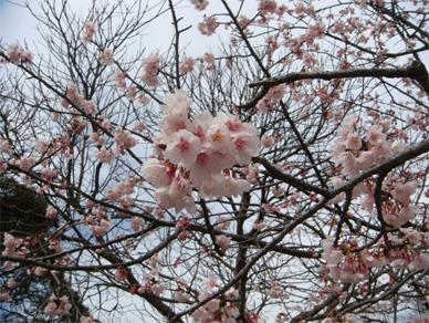 March11,2009sakura1