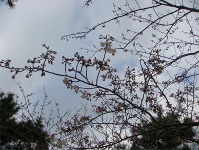March31,2009sakura1
