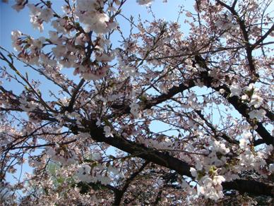 April2,2009sakura2