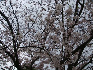 April4,2009sakura1