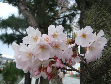 April4,2009sakura2