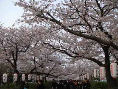April5,2009sakura2