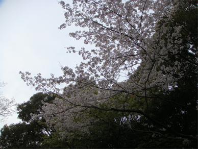 April5,2009sakura3