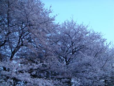 April7,2009sakura2