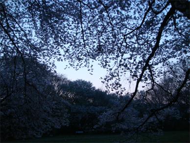 April7,2009sakura3