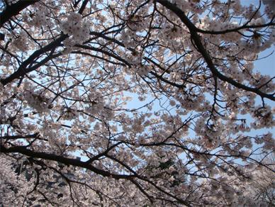 April6,2009sakura2