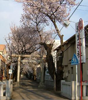 弥生神社の桜