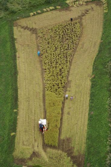 稲刈り11