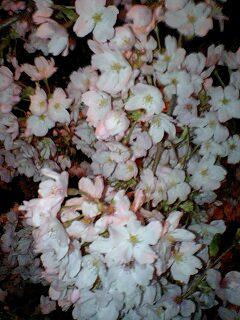 2007/3/30の桜