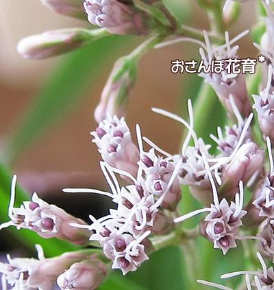 藤袴は小さな花の集まり