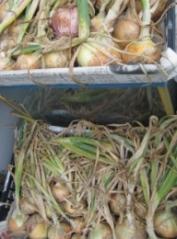 玉ねぎ収穫2