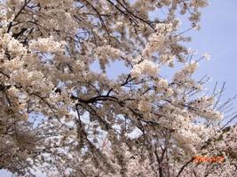 花見2009