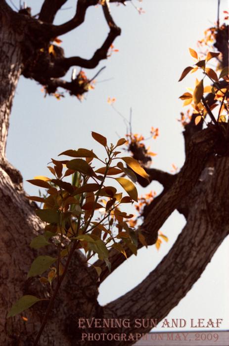 Evening sun and leaf1