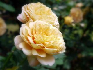 タリアセンのバラ