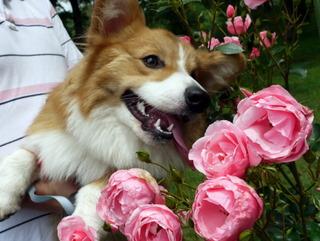 バラの香りにつつまれうっとり顔のぶー。