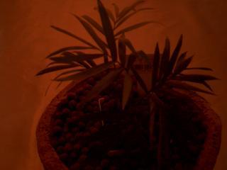 テーブル椰子