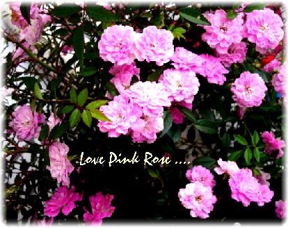 pink-rose001.jpg