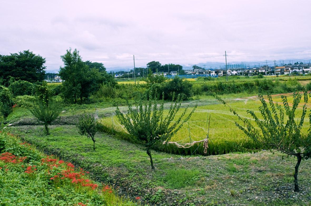 曼珠沙華の田園1