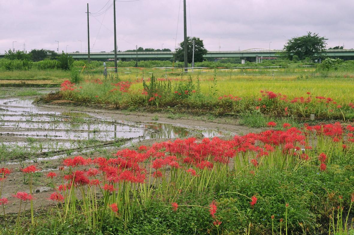 曼珠沙華の田園3