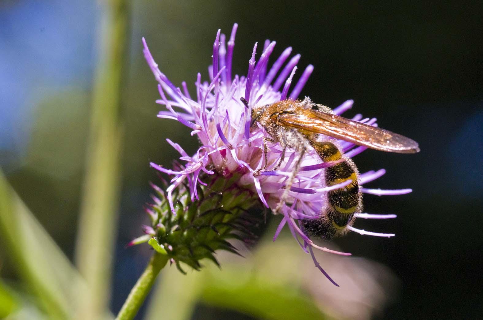 キンケハラナガツチバチ メス