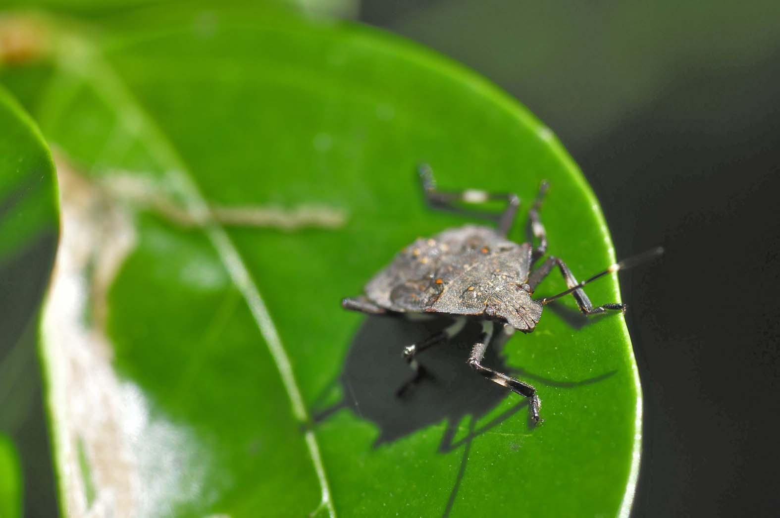 クサギカメムシ(5齢幼虫)