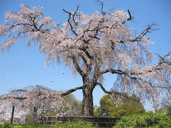 Canon キャノン IXY DIGITAL 510IS 実写 試写 オート 円山公園 桜