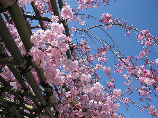 キャノン IXY DIGITAL 510ISで撮影 実写 試写 オート 清水寺 紅枝垂れ桜