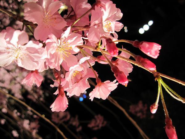 京都 平安神宮の夜桜ライトアップ 紅しだれコンサート2009(東神苑 栖鳳池) 古武道  キャノン ixy510is ナイトモード 実写