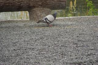 メタボな鳩