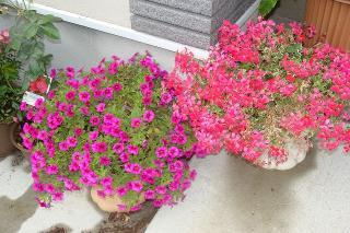去年と同じ花