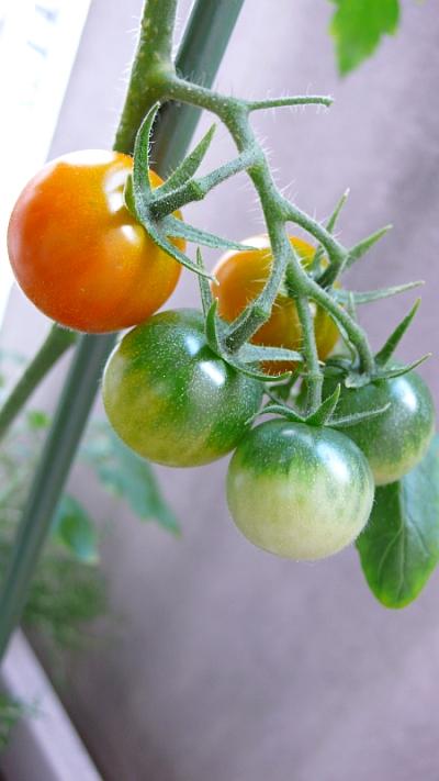 育ち途中のプチトマト