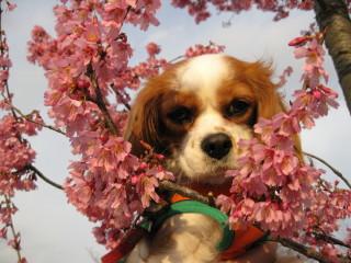 おかめ桜とチャコ