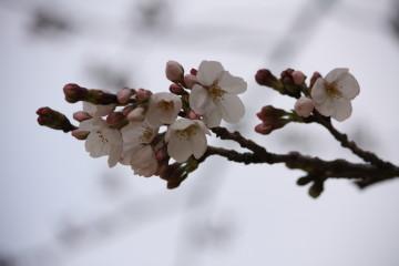桜、1~2分咲き