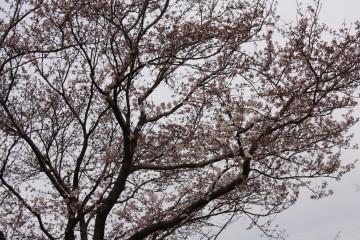 桜7分咲き位