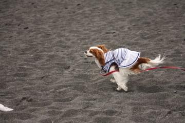 三保の海岸でチャコはスイッチが入ってグルグル走り回っていました