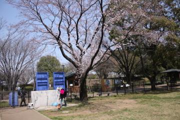 ドックランにも桜の木がありました