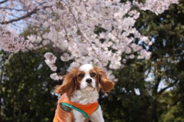 桜の花とチャコ