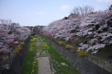 菜の花と桜綺麗