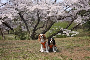 桜の前で・・・