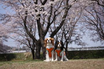 桜とチャコ&エリー
