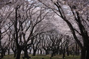 満開の桜③