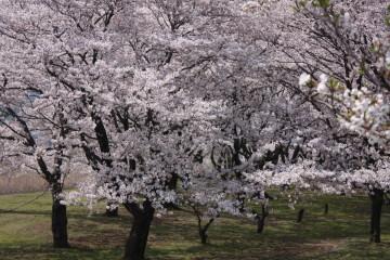 満開の桜④