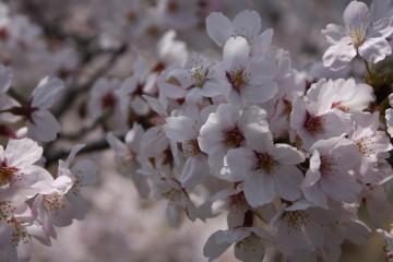 満開の桜⑤