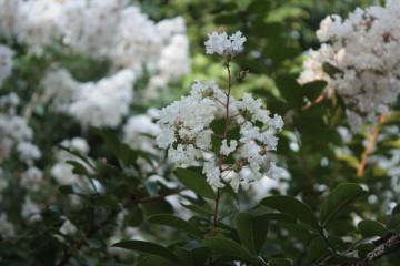 サルスベリのお花 白色