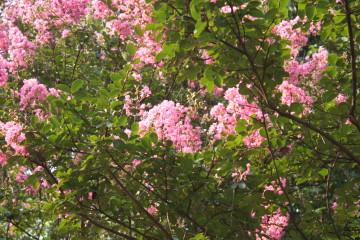 サルスベリの花 紅色