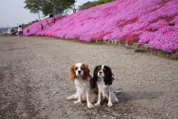 芝桜とチャコ&エリー②