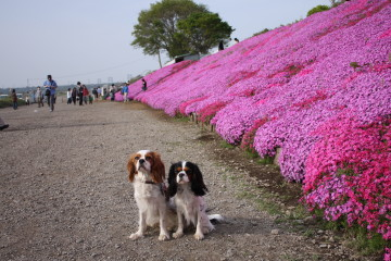 芝桜とチャコ&エリー③