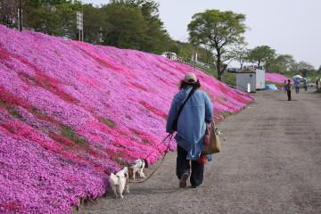 芝桜綺麗だね